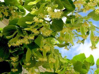 Цветки липы: лечебные свойства