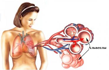 Альвеолы: анатомия и функции
