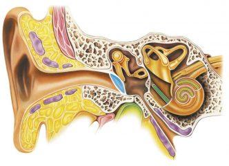 Развитие органа слуха и равновесия