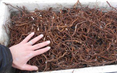 Астма: лечение корнями малины